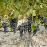 vinificazione vini qualità cantina di santa croce
