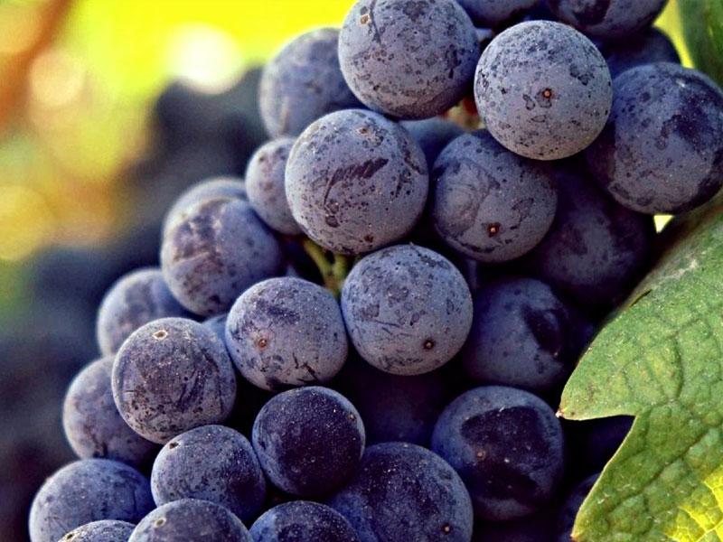 L'uva salamino della cantina di santa croce